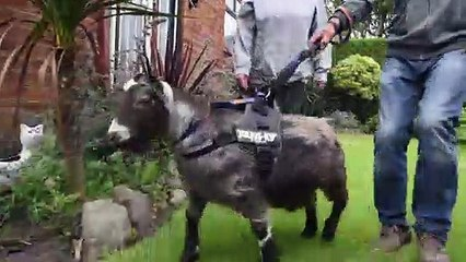 Pet goat walker safety plea to path users