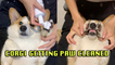 'Patient Corgi Getting its Paws Cleaned *ADORABLE*'