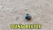 ''Ain't No Stoppin' Us Now' - Dung Beetles ROLL a Ball of Dung '