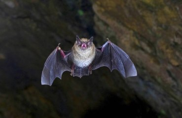 Record-breaking bat flies from London to Russia