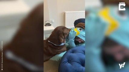 Frauchen von Labrador verkleidet sich als Lieblingsstofftier