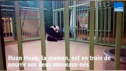 Retour au zoo de Beauval, 15 jours après la naissance des deux bébés pandas
