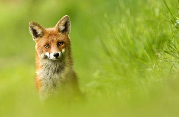Fox freed after being tangled up in football net