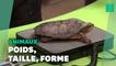 De la grenouille au chameau, le Zoo de Londres a commencé la pesée annuelle de ses animaux
