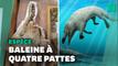 Le fossile d'une nouvelle espèce de baleine à quatre pattes découvert en Egypte