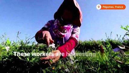 Jasmine harvest for Chanel No. 5's centenary anniversary