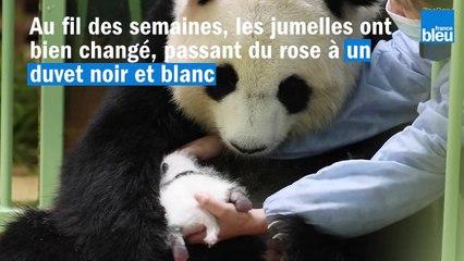 """Les bébés pandas, """"Fleur de coton"""" et """"Petite neige"""" fêtent déjà leur premier mois à Beauval"""