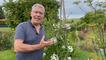 Roland Motte, jardinier : le solanum jasmin, une grimpante volubile