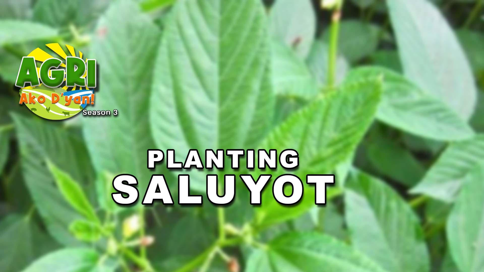Saluyot Farming