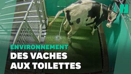Des vaches entraînées à uriner au petit coin pour réduire les gaz à effet de serre