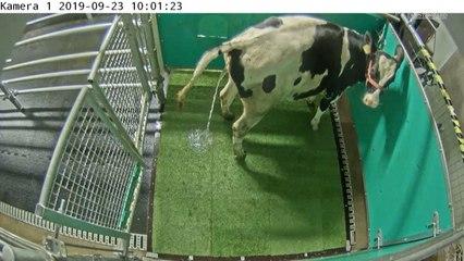 Forscher brachten Kühen bei, die Toilette zu benutzen