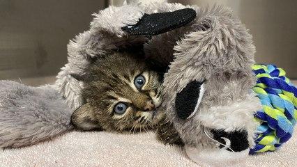 Bobcat Kitten PLAYTIME!!