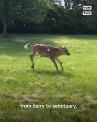 Cow Rescuer Saves Unwanted Calves from Dairy Farms