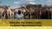 Breeding the Somali camel to boost milk production