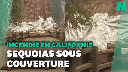 En Californie, les sequoias géants recouverts d'aluminium pour les protéger des incendies