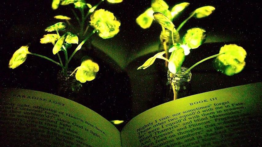 MIT – Glowing plants