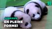 Chine: Deux bébés pandas présentés au public du zoo de Chongqing