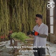 Gironde : Près de Langon, La ferme médicale a démarré la récolte de son « cannabis bien-être »