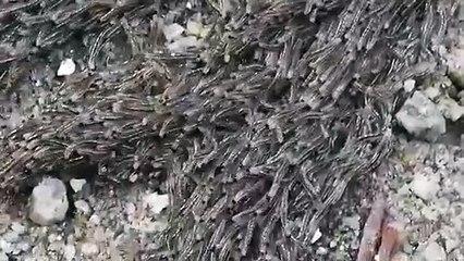 آلاف من يرقات البعوض تهاجر كأنها كائن واحد والسبب في ذلك غريب