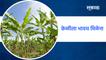 Aurangabad : केळीला भावच मिळेना