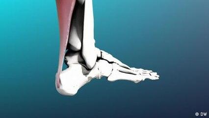 The Achilles tendon - a workhorse