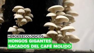 Héroes ecológicos: hongos gigantes sacados del café molido