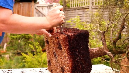 How a bonsai tree is professionally restored