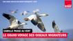 Le grand voyage des oiseaux migrateurs