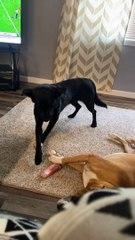 Un chien vole l'os de son pote endormi