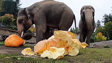 Oregon Zoo elephants smash massive pumpkins at annual fall tradition