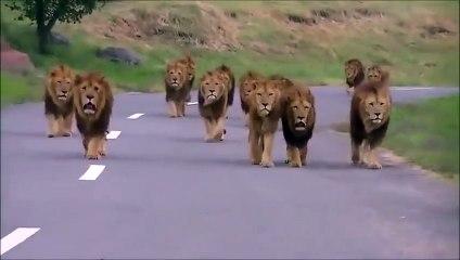 Une vingtaine de lions s'approche d'un véhicule perdu dans la savane