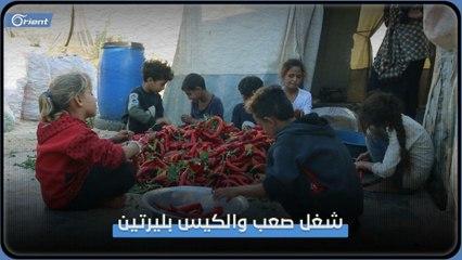 أم وأطفالها التسعة.. يحاولون تأمين لقمة العيش بتنظيف الفليفلة في مخيمات إدلب