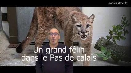 Le félin du Pas de Calais.