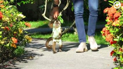 Davi, o macaco-prego que mora na Serra e faz sucesso no Instagram