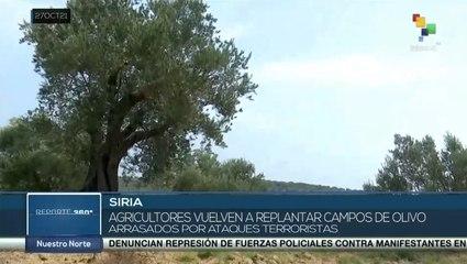 Agricultores sirios recuperan tierras para el cultivo de olivos en beneficio de la economía