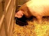 Cochons au Salon de l'agriculture