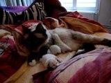 Petits chatons Sacré de Birmanie avec leur maman