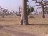 Sénégal 2008 - forêt de Baobabs .avi