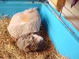 Bébés Cochons d'indes 2h apres la naissances