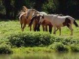 Les chevaux en libertè