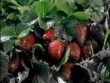 Häagen-Dazs : Strawberry