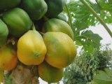 6 fraise 6 fraise de mostaganem OUADFEL DJILLALI ALGERIE