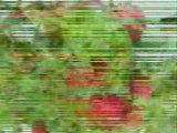 fraise  Mr OUADFEL DJILLALI fraise agricol Mostaganem alger