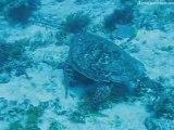 Video de tortue en plongée sous-marine au Mexique
