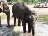 Elephants du zoo d'Amiens qui se rafraichissent