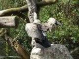vautours a dos blanc du zoo d'amiens