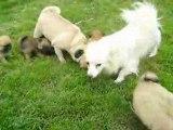 Victorine joue avec les chiots