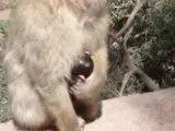 MAROC - Singes aux Cascades d'Ouzoud