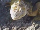 Galapagos Islands travel: Iguana skeleton Female lava lizard