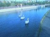 Beautiful Swans in UK&محمد المنشاوى